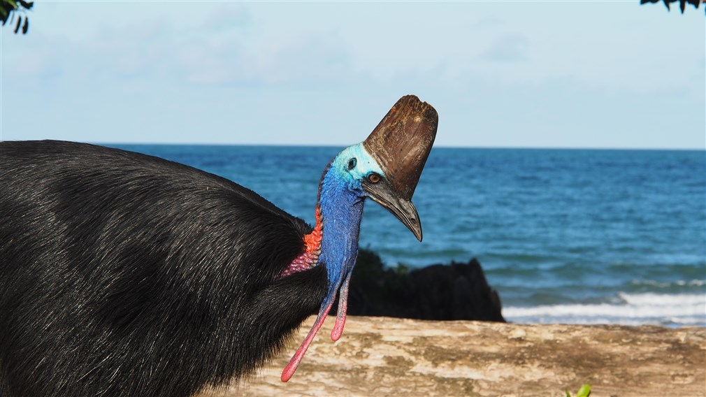 seeing a real Cassowary