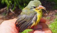 baby sunbird